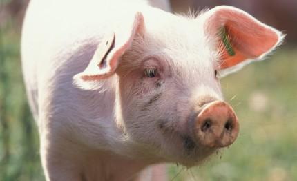 Bio-Schwein